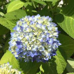おでかけ/花のある暮らし ご近所さんの紫陽花