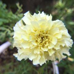 マリーゴールド/庭に咲く花/お花大好き 庭のマリーゴールド 暑さで小さな花に な…