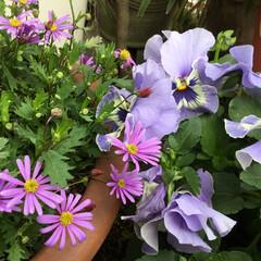 庭に咲く花/花のある暮らし/春の庭/春さがし ブラキカムと パンジーの コラボ🤗