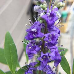 庭の花/お花大好き 庭のセイヨウニンジンボク 今年最後のお花…
