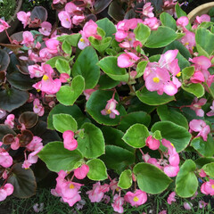 庭の花たち/お花大好き ベゴニアがモリモリ💕