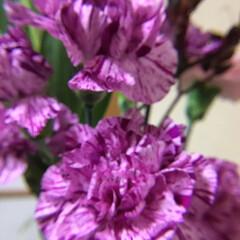 切り花/お花大好き/花のある暮らし 切り花 カーネーション 可愛いです♪(1枚目)