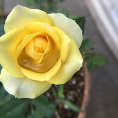 ミニ薔薇/お花大好き/庭の花達 おはようございます😃 ご心配をおかけしま…