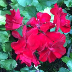 お花大好き/庭の花 庭のゼラニウム 少しくすんだ色に なって…