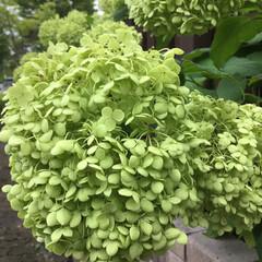 アナベル/お花大好き ご近所のアナベル 白からみどりに色変わり…