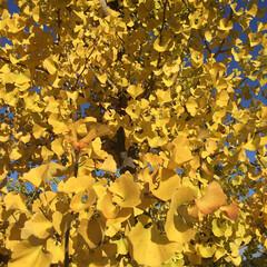 ご近所さん/庭に咲く花/お花大好き 青空に銀杏が映えます(2枚目)