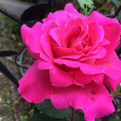 庭の薔薇/庭の花たち/花のある暮らし 派手めの薔薇 目を惹きます