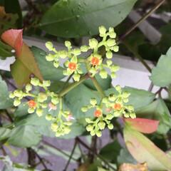 藪枯らし/お花大好き/雑草 久しぶりに庭に出ると にっくき藪枯らしが…