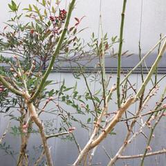 梅の蕾 たくさんの蕾ができました💞 初夏には梅酒…
