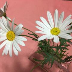 コロナに負けない/花のある暮らし マーガレット 大好きなお花です💕