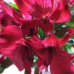 花のある暮らし アルストロメリア 真っ赤❣️ ちょっとだ…