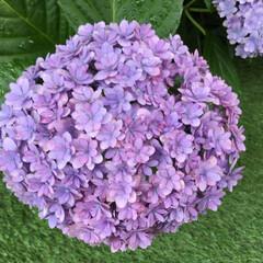 紫陽花/花のある暮らし/庭に咲く花/お花大好き 庭の紫陽花 小さくて可愛い花びら これも…