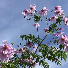 ご近所さん/花のある暮らし/お花大好き 最近あちこちで見かける 皇帝ダリア やっ…(1枚目)