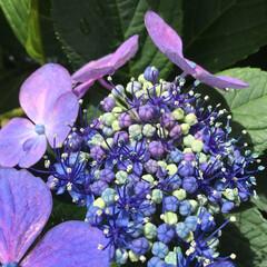紫陽花/庭の花たち/お花大好き 庭に咲いた小さな 額紫陽花 綺麗です