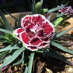 コロナに負けない/庭に咲く花/花のある暮らし 庭に咲く花 なでしこ いい香りがします