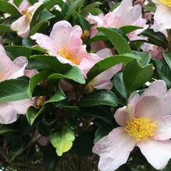 ご近所さん/花のあるくらし/庭に咲く花/お花大好き ご近所さんの山茶花 ピンクが可愛いです