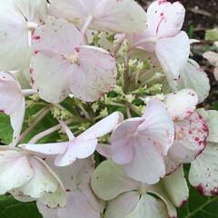 ご近所/おでかけ/お花大好き ご近所に咲く紫陽花♡ 赤の差し色が綺麗です