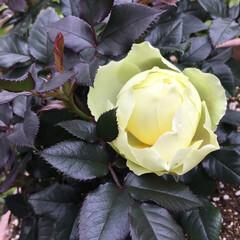 コロナに負けない/庭の花たち/花のある暮らし ミニ薔薇 二輪目が咲きます💛