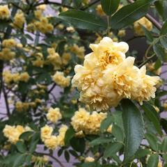 コロナに負けない/庭の花たち/花のある暮らし モッコウバラ 今日は黄色シリーズ💛 暑く…