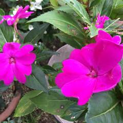 お花大好き/庭の花 庭のニューギニアインパチェンス 鮮やかカ…