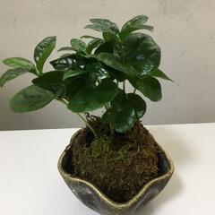苔玉/庭に咲く花/お花大好き コーヒーの木と苔玉