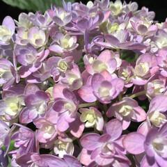 紫陽花/庭の花たち/花のある暮らし 庭の紫陽花が綺麗です