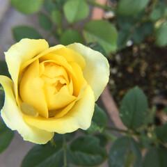 ミニ薔薇/お花大好き/庭の花 庭のミニ薔薇 またひとつ咲きます
