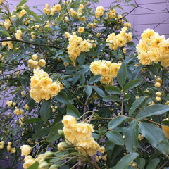 コロナに負けない/花のある暮らし/庭の花たち 庭のモッコウバラが 咲きはじめました💛
