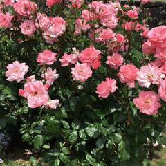 薔薇/フラワーセンター/おでかけ クイーンエリザベス 山さんと一緒💕