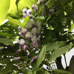 コロナに負けない/藤の花/花のある暮らし/庭の花たち 庭の藤の花が 咲きました💜 葉っぱの勢い…