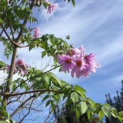 ご近所さん/花のある暮らし/お花大好き 最近あちこちで見かける 皇帝ダリア やっ…(2枚目)