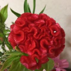 切り花/季節の花/花のある暮らし/お花大好き 7月 2回目切り花 鉄砲百合 ケイトウ …(4枚目)