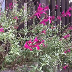 ご近所の庭/お花大好き ご近所に咲く 鮮やかピンクのサルビア(2枚目)