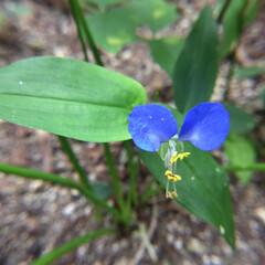 庭の花/お花大好き 庭のつゆ草 あちこちで咲いてます