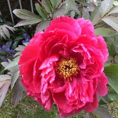 コロナに負けない/牡丹/庭に咲く花/花のある暮らし 昨日 蕾だった 牡丹が咲きました❣️ 💕…