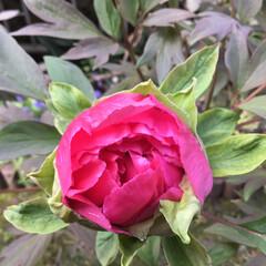 牡丹/庭に咲く花/花のある暮らし 少しづつ  少しづつ 蕾が膨らんで 来ま…