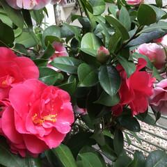 椿/花のある暮らし/庭に咲く花/春の庭/春さがし 椿 四海波 今年は良くさきました❤️ い…