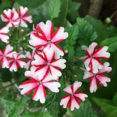 庭の花たち/花のある暮らし バーベナ ハートの花びらが可愛い💕
