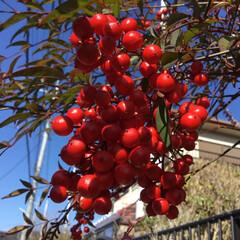ご近所さん/花のあるくらし/お花大好き/庭に咲く花 ご近所さんの南天 赤く色づいて綺麗です
