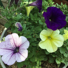 コロナに負けない/庭の花たち/花のある暮らし ペチュニア三色 これから楽しみな お花で…