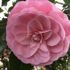 椿/庭に咲く花 乙女椿 綺麗に巻き巻き しています❣️