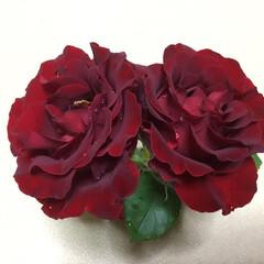 薔薇/庭の花たち/花のある暮らし 雨に濡れて可哀想☔️