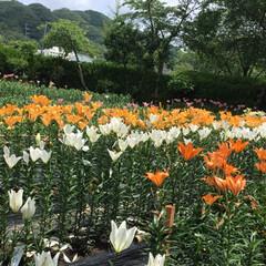 おでかけ/百合園/お花大好き 百合七色で終わりました 百合園の全景 た…