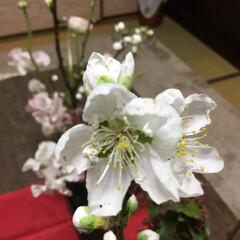 春の花たち 白桃