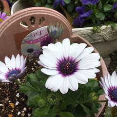 春さがし/春の庭/花のある暮らし/庭に咲く花 オステオスペルマム あきら と言う名前ら…