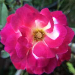 庭の花/お花大好き 夏薔薇