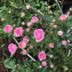 お花大好き/庭の花たち 庭のミニ薔薇 可愛いお花が咲いてます💕