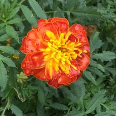 ご近所/おでかけ/お花大好き ご近所に咲くマリーゴールド💛 鮮やかに咲…