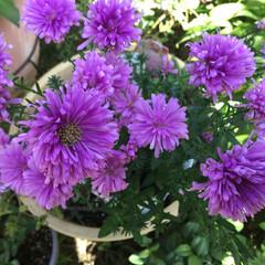 庭に咲く花/お花大好き 庭のアスター