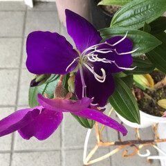 おうち/お花大好き/庭に咲く花 庭のノボタン 濃淡があって綺麗です